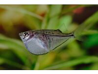 Blackwing Hatchet Fish for sale tropical fish