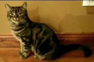 """Young Male Cat - Domestic Short Hair: """"Bebe"""""""