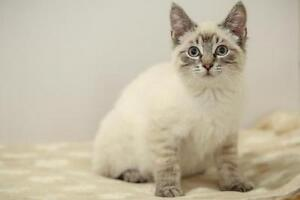 """Young Male Cat - Domestic Short Hair: """"Jester"""""""