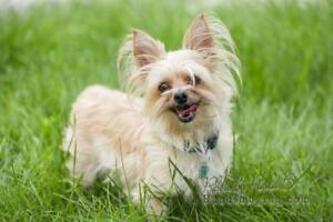 "Adult Female Dog - Maltese-Yorkshire Terrier Yorkie: ""Scrappy"""