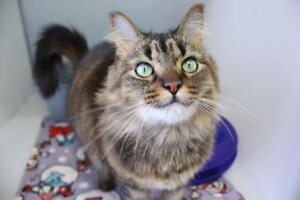 """Adult Female Cat - Tabby - Brown-Calico: """"Hallie"""""""