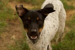 "Young Male Dog - Cattle Dog: ""River"""