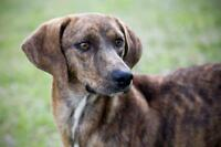 "Young Male Dog - Mountain Cur: ""Charlie"""