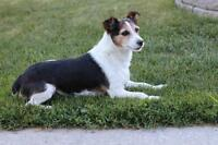"Adult Female Dog - Jack Russell Terrier: ""Sally"""