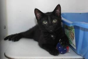 "Young Female Cat - Domestic Short Hair: ""Edith"""
