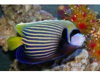 MARINE FISH / NICE SIZE ADULT EMPEROR ANGELFISH