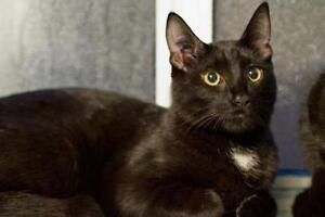 """Young Male Cat - Domestic Short Hair: """"Lionel"""""""