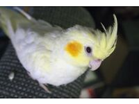 young cockatiel's for sale