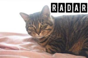 "Adult Male Cat - Domestic Short Hair: ""Radar"""