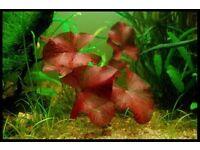 Large Red Tiger Lotus Aquarium Live Plant