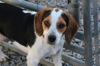 "Adult Female Dog - Beagle: ""Mercedes"""