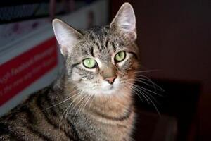 Young Female  - Tabby - Brown-Tabby