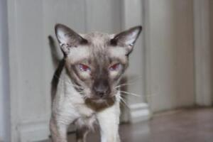 "Adult Male Cat - Siamese: ""Apple"""
