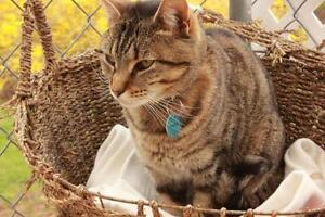 "Adult Female Cat - Tabby: ""Marbles"""