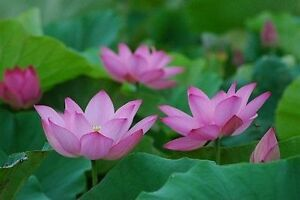 25 water tropical Lotus seeds (mix 4 colors)