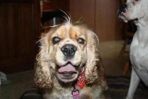 "Young Female Dog - Cocker Spaniel: ""Maggie-Adoption Pending!!!"""