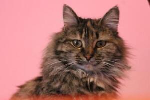 "Adult Female Cat - Domestic Long Hair: ""Lisa"""