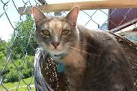 "Adult Female Cat - Dilute Tortoiseshell-Dilute Calico: ""Brynley"""