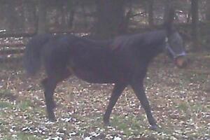 """Senior Female Horse - Standardbred: """"Julie"""""""