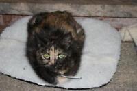 "Adult Female Cat - Tortoiseshell: ""Katie"""