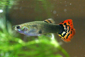 Assorted Guppies males and females