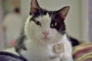 "Adult Male Cat - Domestic Short Hair-Tuxedo: ""Ali"""