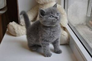 ❤️ Russian Blue  male cutie & beautie little bear