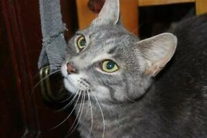 "Adult Female Cat - Tabby (Gray): ""Chloe"""