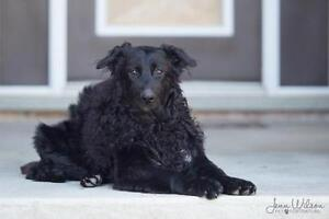 "Young Male Dog - Border Collie-German Shepherd Dog: ""Grizz"""