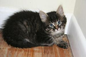 "Adult Male Cat - Domestic Medium Hair: ""Prince"""