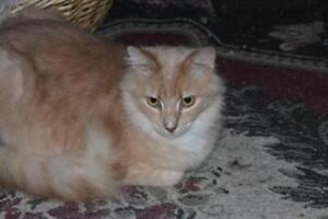"""Adult Male Cat - Domestic Long Hair: """"Sunny"""""""