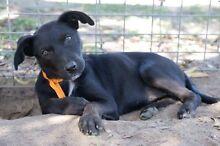Pure Bred Kelpie Pups Cranbourne Casey Area Preview