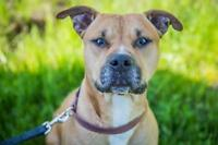 "Adult Male Dog - Pit Bull Terrier-Boxer: ""Poco"""
