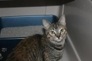 """Young Female Cat - Tabby: """"Miss Lucy"""""""
