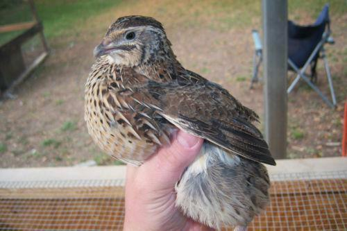 Jumbo coturnix quail - photo#24