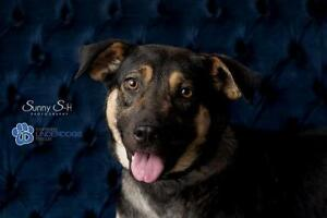 "Young Female Dog - Labrador Retriever-Shepherd: ""Marvel"""