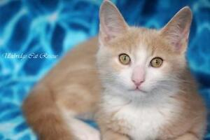 "Baby Male Cat - Domestic Short Hair (Buff & White): ""Peaches"""