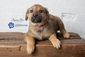 "Baby Female Dog - German Shepherd Dog: ""Betty Lou"""