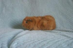 """Adult Female Small & Furry - Abyssinian: """"Alicia"""""""