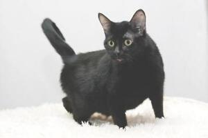 "Adult Female Cat - Domestic Short Hair: ""Freya"""