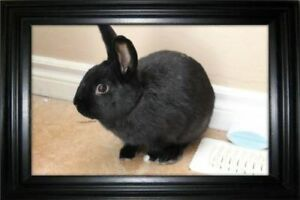 "Adult Male Rabbit - Netherland Dwarf: ""Monty"""