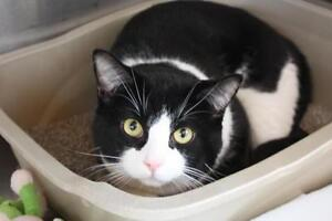 Adult Male  - Domestic Short Hair-black and white