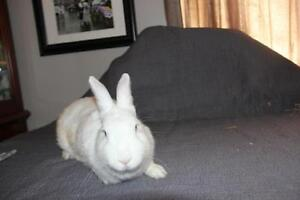 "Adult Female Rabbit - New Zealand: ""Lottie"" Cambridge Kitchener Area image 2"