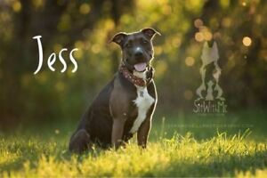 """Young Female Dog - Pit Bull Terrier: """"Jess"""""""