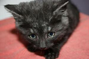 "Adult Male Cat - Domestic Short Hair-black: ""Hermes"""