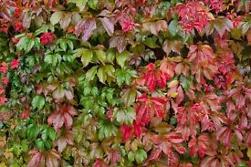 3 x VIRGINIA CREEPER PLANTS FOR £12 (INCLUDING DELIVERY)