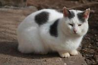 """Adult Male Cat - Domestic Short Hair - gray and white: """"Digit"""""""