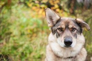 "Adult Female Dog - Shepherd-Husky: ""Valkyrie-pending"""