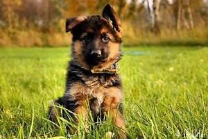 I want a work line German shepherd puppy pure bred Queanbeyan Queanbeyan Area Preview