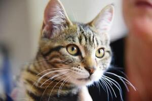 Young Female  - Tabby - Brown-Tabby London Ontario image 2